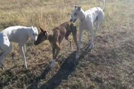 Trei câini de vânătoare, confiscați de polițiști